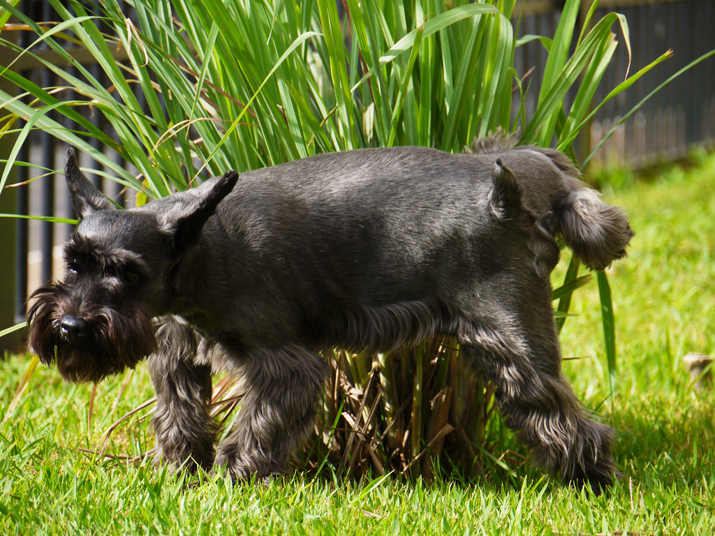 Miniature Schnauzer Puppies For Sale In Pa For Sale In Pa
