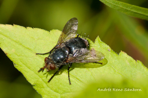Common House Fly (Musca domestica)-1.jpg