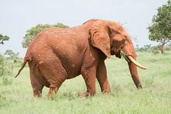 mahout(0.0), animal(1.0), indian elephant(1.0), elephant(1.0), elephants and mammoths(1.0), african elephant(1.0), fauna(1.0), pasture(1.0), savanna(1.0), grassland(1.0), safari(1.0), wildlife(1.0),