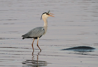 Grey heron on hippo