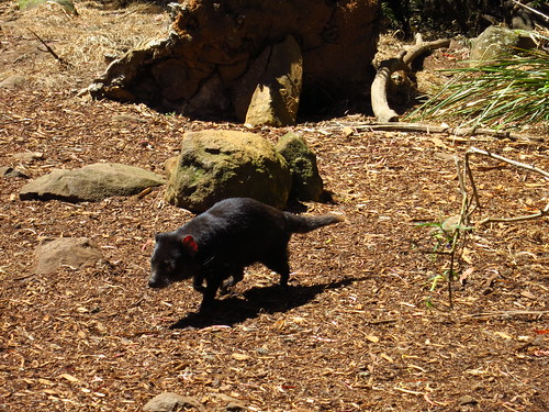 tasmanian devil skip like walking