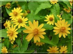 Melampodium divaricatum (Butter Daisy) - new addition in December 2011