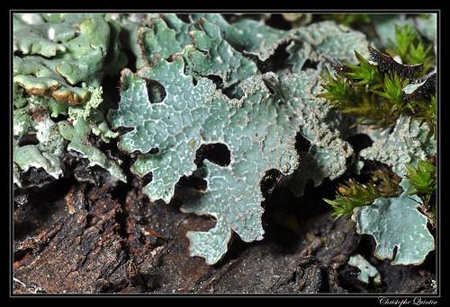 Parmelia sulcata & Hypogymnia physodes