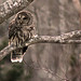 Barred Owl (Strix varia) by ^ Johnny