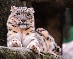 [Free Images] Animals 1, Leopards, Snow Leopard ID:201201121000