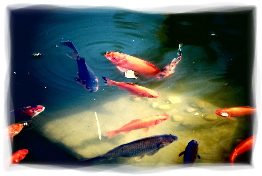 Goldfish several goldfish swimming by steve a johnson for Fish swimming backwards