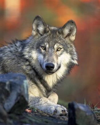 A gray wolf (not OR7)