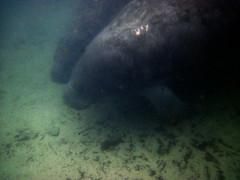 marine mammal, sirenia, manatee, marine biology, underwater,