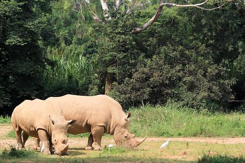 africa white wildlife rhino uganda uga simum ceratotherium peaceonearthorg