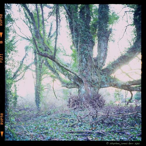 ireland tree tlr nature rolleiflex ngc kells fujivelvia50 meath