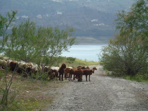 Malaga Goats