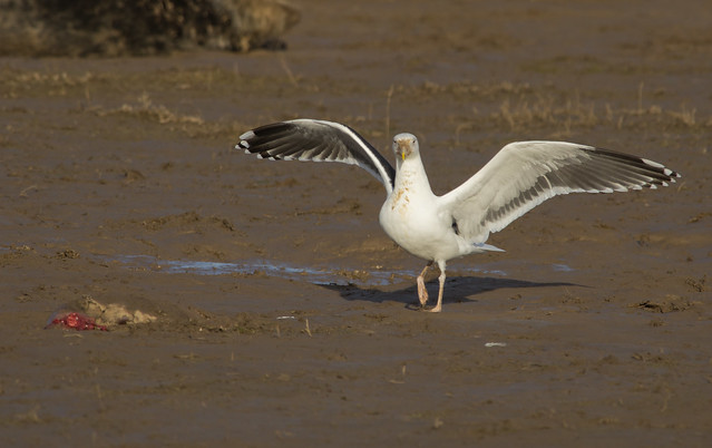 adult black backed gull landing