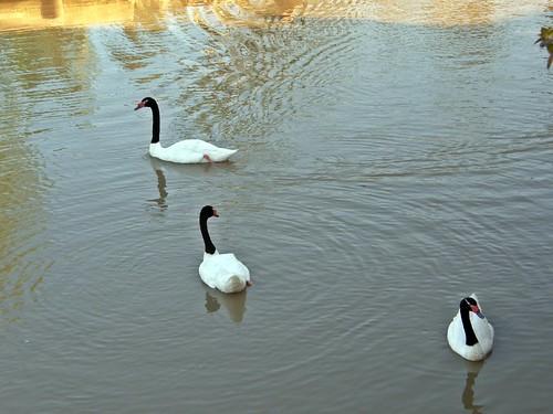 cisnes de cuello negro 2