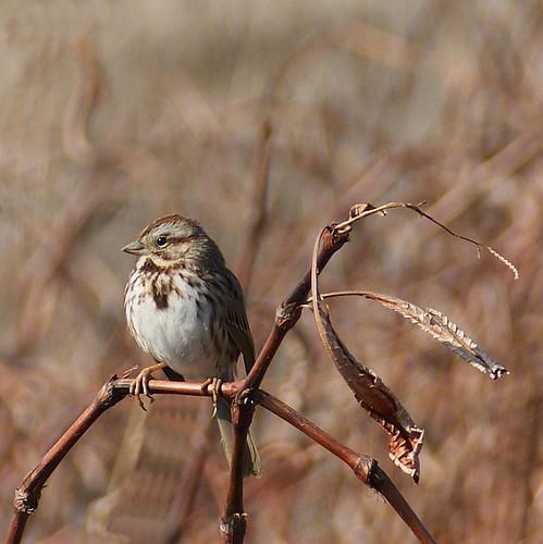 bird nature animal countryside bokeh wildlife ngc sparrow birdwatcher songsparrow sony350 thewonderfulworldofbirds blinkagain