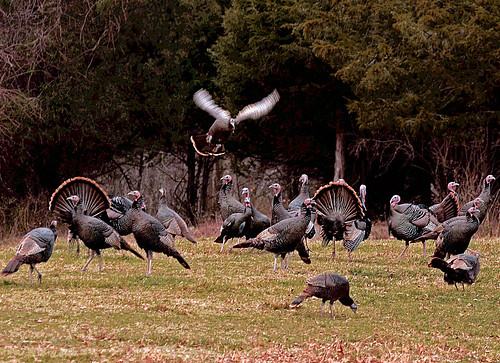 Flock of Turkeys - East Greenwich, Rhode Island by misterfoto