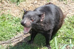 wallaby(0.0), peccary(0.0), american black bear(0.0), virginia opossum(0.0), possum(0.0), common opossum(0.0), wombat(0.0), rat(0.0), animal(1.0), tasmanian devil(1.0), mammal(1.0), fauna(1.0), viverridae(1.0),
