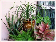 A group of foliage plants including Dracaena marginata at our porch, Nov 30 2011