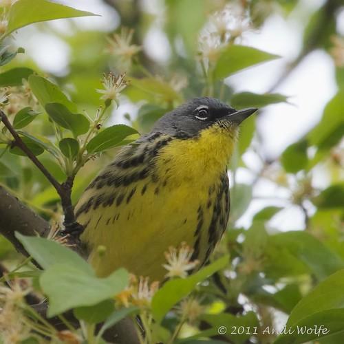 Kirtland's Warbler! by andiwolfe