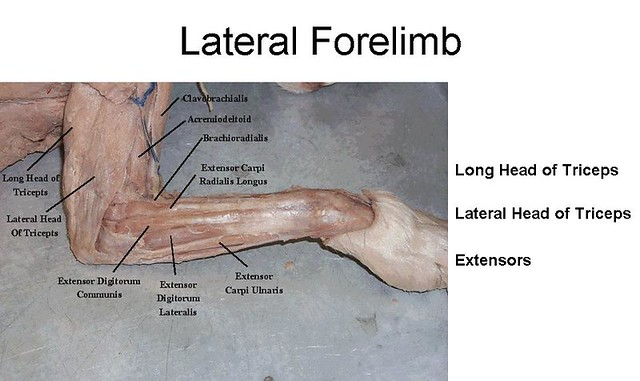 8. Lateral Forelimb muscles