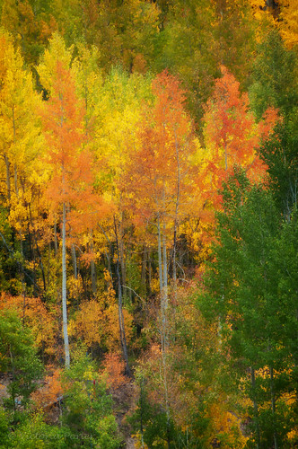 Golden glowing aspens with reds and greens... Colorado's fall spectacle! by toryporter (back... FAR behind!)