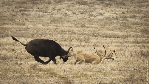 Ngorogoro Crater - The Hunt II