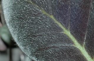 Kohleria bogotensis 'El Crystal' leaf