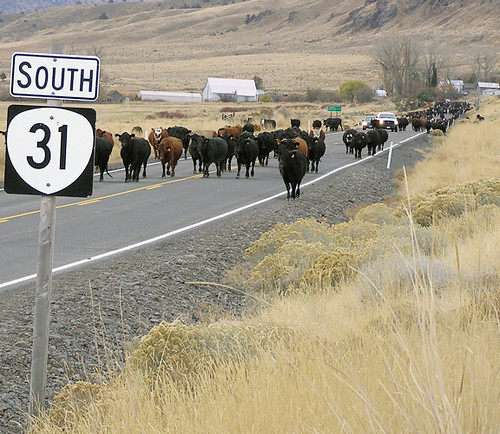 31 cattle drive