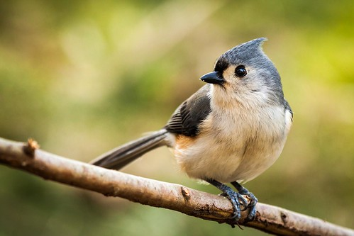 His name is Titmouse, Titmouse Pițigoi by Ultima Gaina