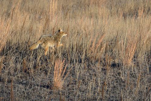 Coyote DSC_1606