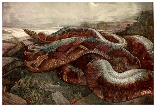 025-Kaa la serpiente piton- The jungle book 1913-Ilustrado por Edward Detmold