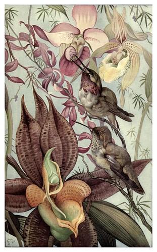 046-Catasetum y Cypripedium-News of spring and other nature studies 1917- Ilustrado por Edward J. Detmold