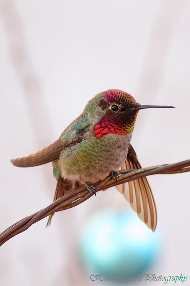 Anna's Hummingbird 122012-1