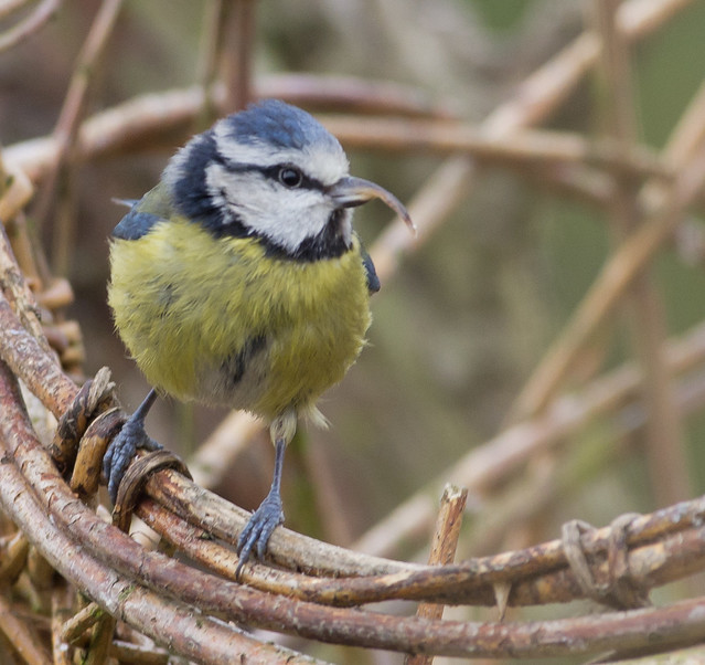 blue tit freaky beaky