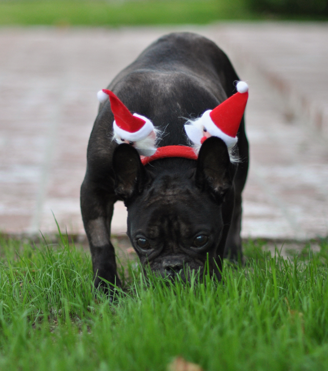 LeRoy with santa ears