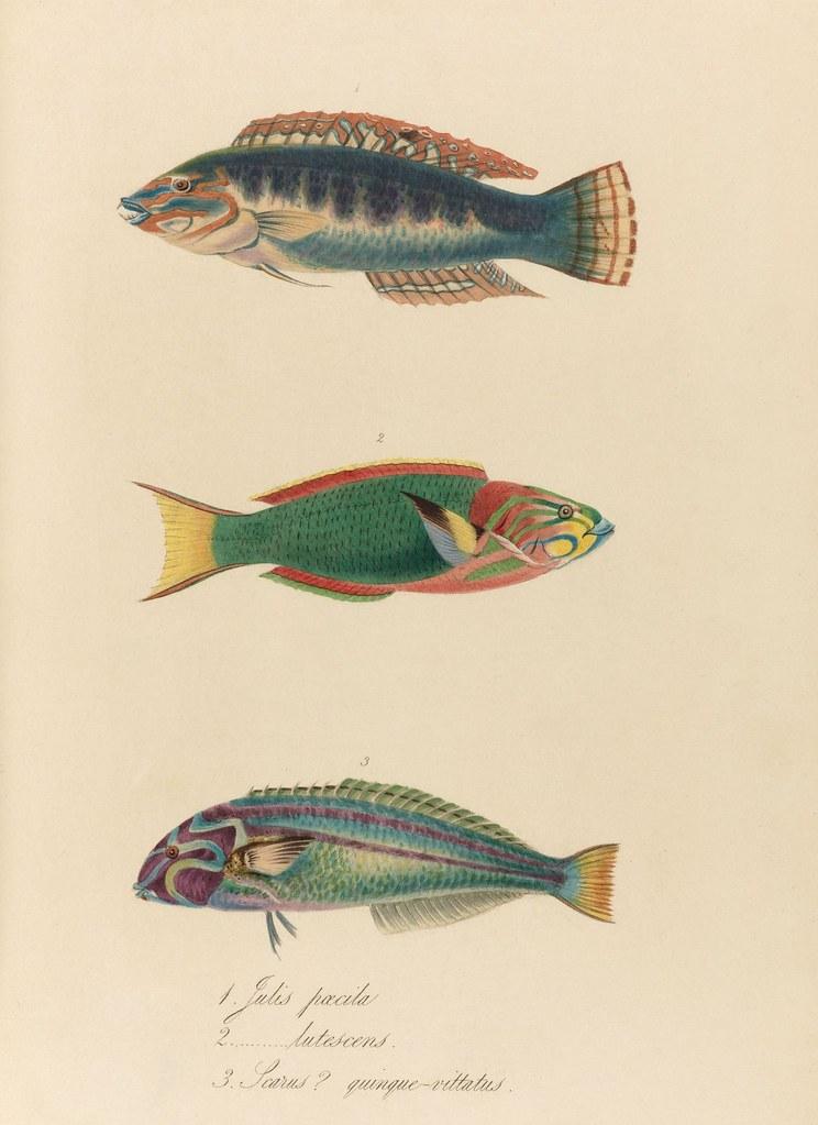 1820s zoology of Captain Beechey - Julis pecila + lutesens + Scarus quinque-vittatus