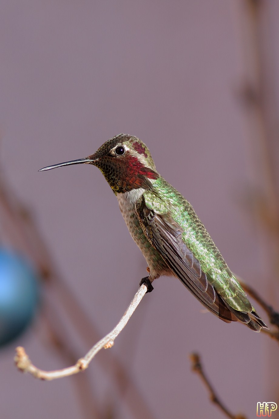 Anna's Hummingbird 122612