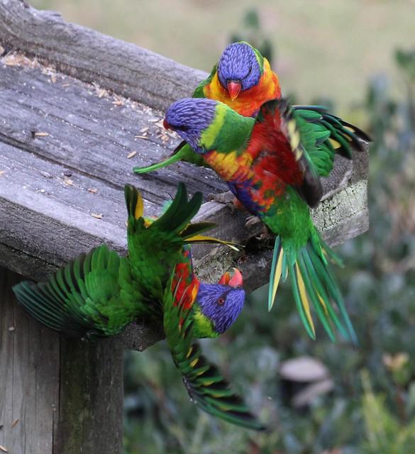 Rainbow Lorikeets Squabbling - Narooma