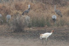 Three species of crane in one place in TN!