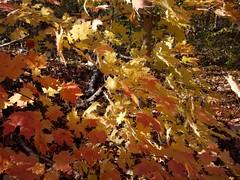 日, 2010-11-07 15:15 - New York Botanical Garden (Bronx) ブロンクスの NY植物園 紅葉