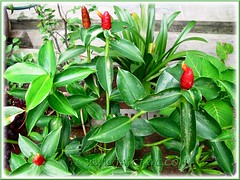 Newly added Costus woodsonii (Red Button Ginger, Scarlet Spiral Flag) at our inner border