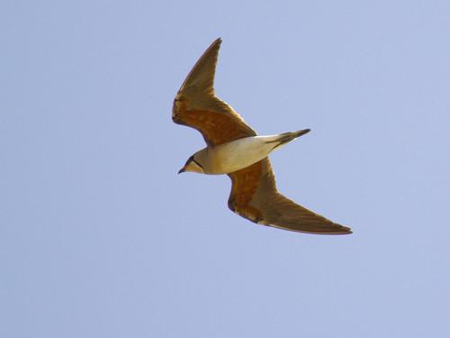 Oriental Pratincole in flight over Makardokda Lake