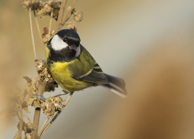 great tit on seed heads