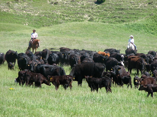 cowboys herding cattle
