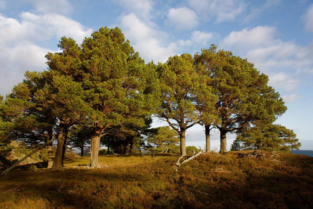Pines in the sunshine