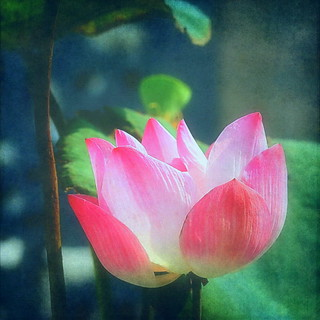 Translucent Lotus