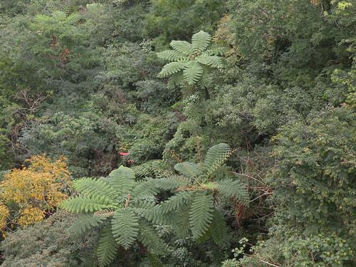 瓦拉米是布農語「蕨」的意思,瓦拉米步道就是蕨之道。(圖片來源:台灣環境資訊協會)