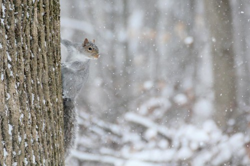 Squirrel on Snowy Tree