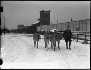 12-17-1952_11219A Zebra's van Circus Strassburger