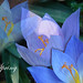 Blue flowers_spring by Redaisy63