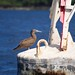 Brown Booby on buoy